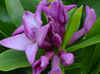 Daphne 'Spring Beauty'