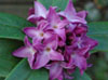 Daphne bhola 'Peter Smithers'